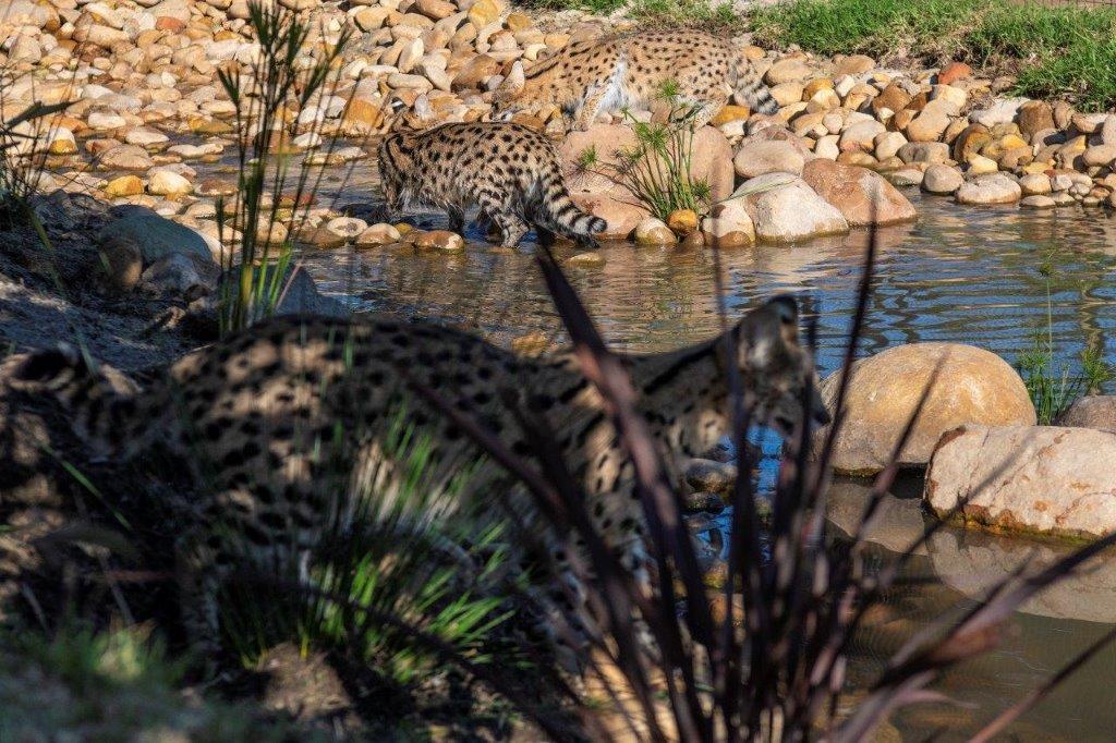 Servals In-Their-Flowing-Stream