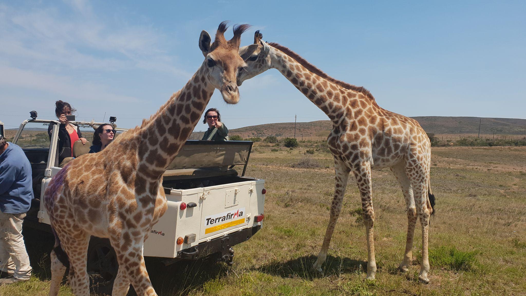 Giraffe and vols