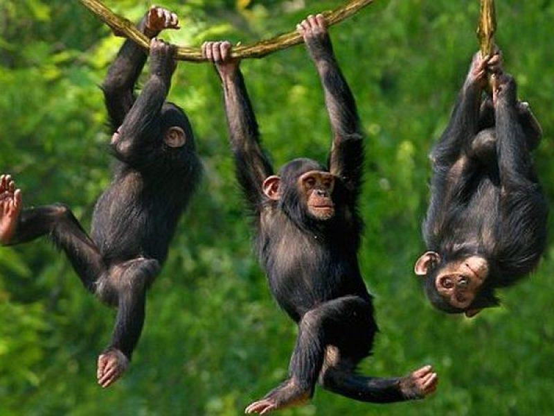 Hanging chimps
